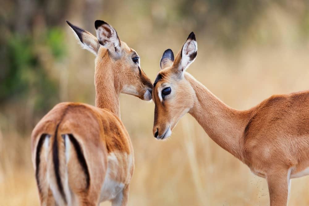 ماسای مارا،کنیا